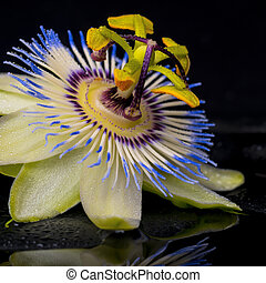 passiflora, 石, 禅, エステ, 花, 反射, 概念