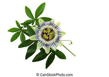 passiflora, blume, leidenschaft, oder