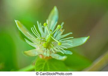 Passiflora capsul, Passifloraceae