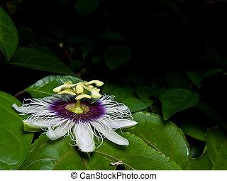 Passiflora edulis - Flower of Passiflora edulis blooming...