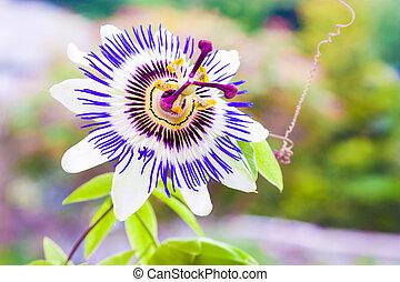passiflora, fleur, passion, ou