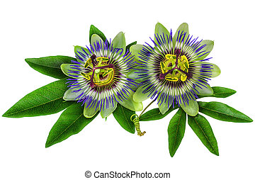 Passiflora homeopathic plant isolated - Passiflora Passion...