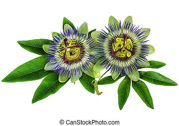 passiflora, homeopatisk, växt, isolerat