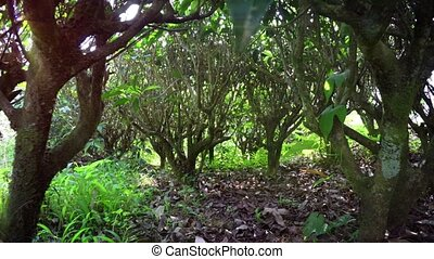 Passing beneath Low Branches of Tea Bushes in Sri Lanka -...