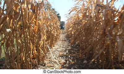 Passing between rows of corn inspecting plantation. Ripe...