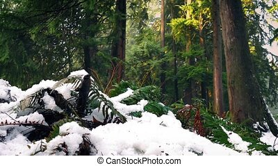 Passing Ferns Buried In Snow In The Forest - Dolly shot...