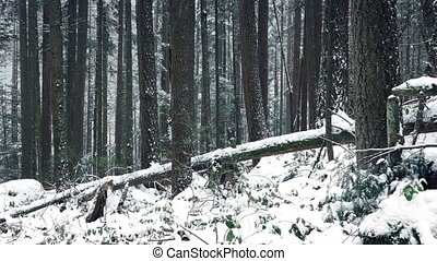 Moving slowly past forest slope with fallen trees buried in snowfall