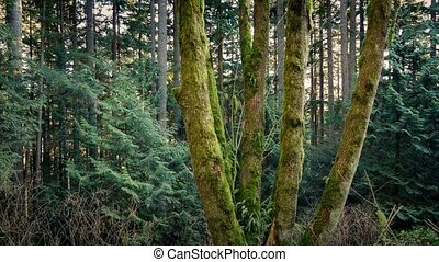 Passing Group Of Mossy Trees In Evening Forest