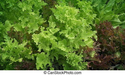 Moving past fresh lettuce vegetable