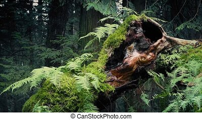 Passing Old Growth Tree With Ferns Growing Off It - Dolly...