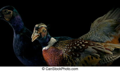 Passing Pheasants Game Birds Display - Passing colorful...
