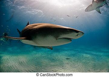 Passing shark - A close up on a lemon shark swimming along...