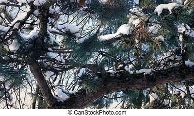 Passing Snow Covered Pine Branches - Dolly shot moving...