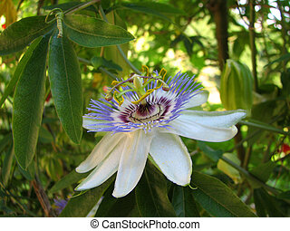 Passion flower Passiflora incarnata with details