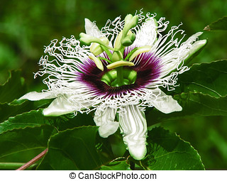 Passion fruit Blossom - Passion fruit Flower,Isolated on...