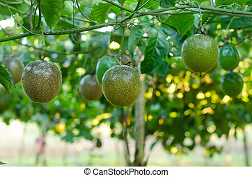 passion fruit growing on the vine