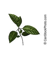 passionfruit, träd, ung, isolerat