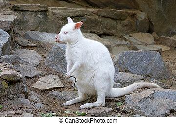 pastar, branca, albino, canguru, vermelho, necked, wallaby