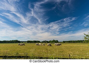 pastar, nuvens, touros, branca, sobre, longo, prado