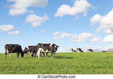 pastar, vacas, pôr do sol, holstein, rebanho leiteria, skyline