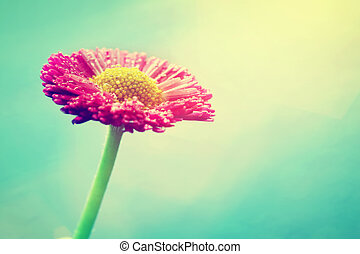 pastel, kwiat, rocznik wina, słońce, kolor, flare., stokrotka, świeży