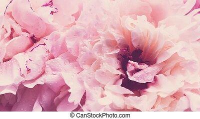 pastel, rose, pivoines, fleur, floral, fond, fleurs, pivoine...