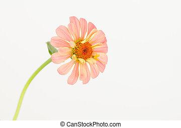 Pastel salmon pink zinnia