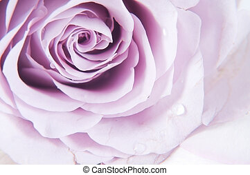 Pastel shade roses - Shot of beautiful tender pastel shade...