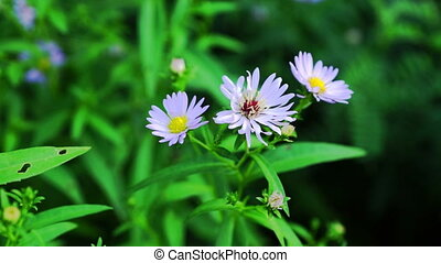 Pastel Violet Aster Flowers On Green Meadow
