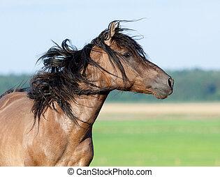 pasto, cavalo, belarus, gallops