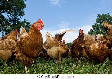 pasto, levantado, alimentación, pollos