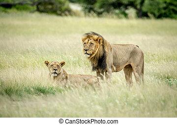 Im genes de archivo de le n pareja mating csp16743556 buscar fotos de archivo fotograf as - Leones apareamiento ...