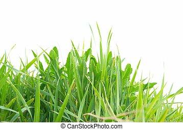 pasto o césped, verde, aislado