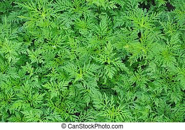 pasto o césped, verde, Plano de fondo, naturaleza