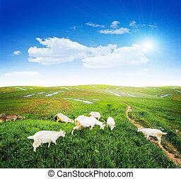 pasto, pasto o césped, verde, cabras, pradera
