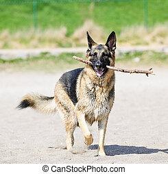 pastor alemán, perro, en, playa