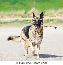 pastor alemán, playa, perro