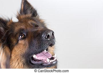 pastor, alemão, cão, cima, olhar, closeup, retrato