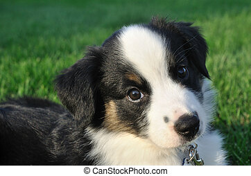 pastor, australiano, (aussie), filhote cachorro