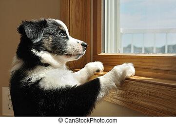 pastor, australiano, (aussie), filhote cachorro, observar