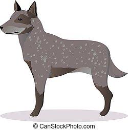 pastor, australiano, cão