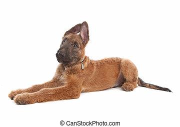 pastor, belga, perro
