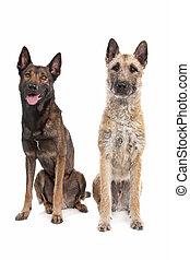 pastor, belga, perros, dos