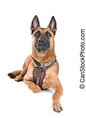 pastor, (malinois)dog, belga