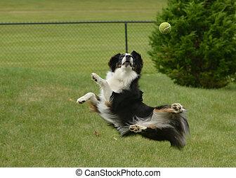 pastore, (aussie), cane, palla, presa, australiano
