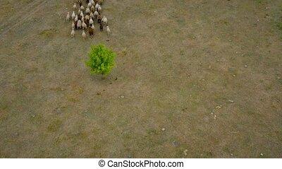 pasture., aérien, troupeau, sheep., vue, sheeps, suivre, bourdon, courant