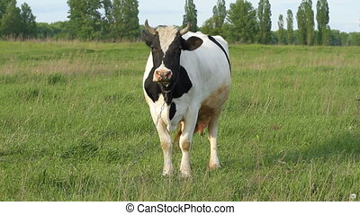 Pasture cow on the grass