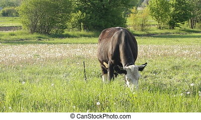Pasture cow