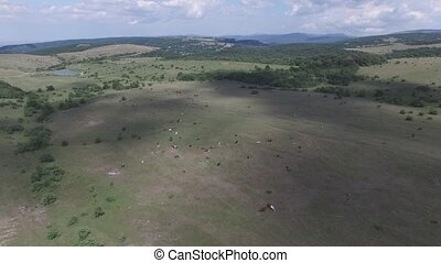 pasture on a mountain plateau - Cows grazing on a mountain...