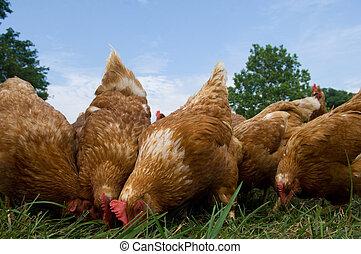 Pasture raised chickens feeding - A group of pasture raised...